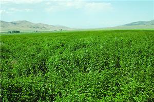 field of herbs